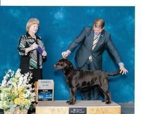champion Labrador